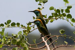Bee-eaters van