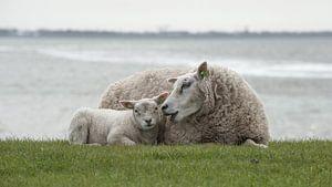 Schaap met lam van