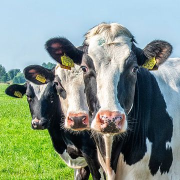 Die Kühe nehmen eine Pose ein; von Michel Groen