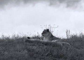 Löwen im Gras von Marcel Kerdijk