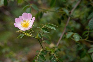 Blüte der Hunds-Rose (Rosa canina). von Fartifos