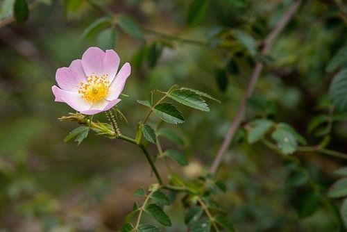 Blüte der Hunds-Rose (Rosa canina).