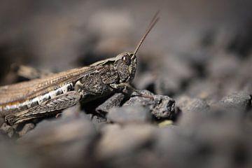Cricket sur cailloux sur Isabel van Veen