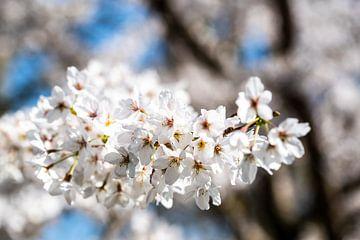 Makro weisse Blüten der Kirsche mit Bokeh von Dieter Walther