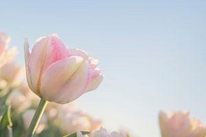 Nederlandse tulpen in pastel van Pauline Aalfs