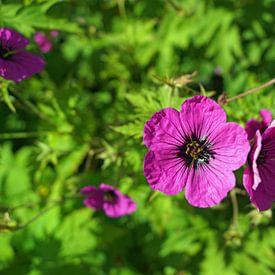 Schotland Bloemen van Babetts Bildergalerie