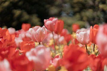 Rosa Tulpen in der Frühlingssonne von Jonai