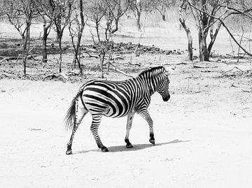 Uberquerende Zebra von Denise Mol