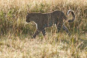 Luipaard loopt door het natte gras in tegenlicht