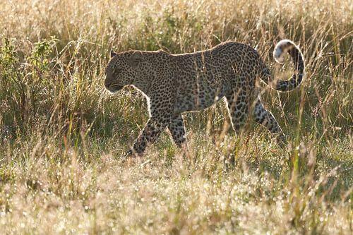 Luipaard loopt door het natte gras in tegenlicht van