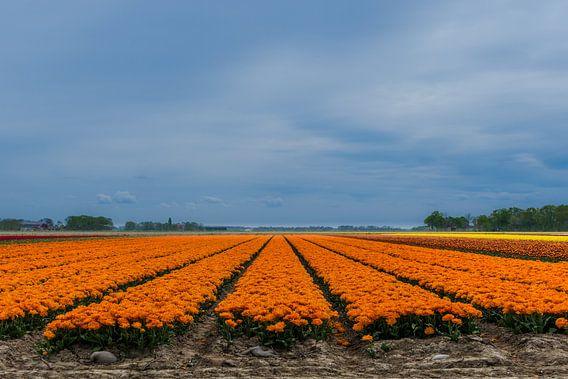 Oranje tulpenstroken