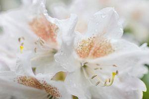 Rododendron met regendruppels van