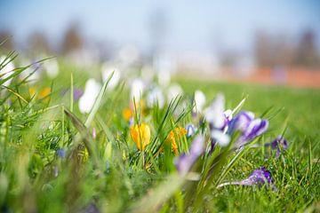Blumen im Rasen Frühling von Robin van Maanen
