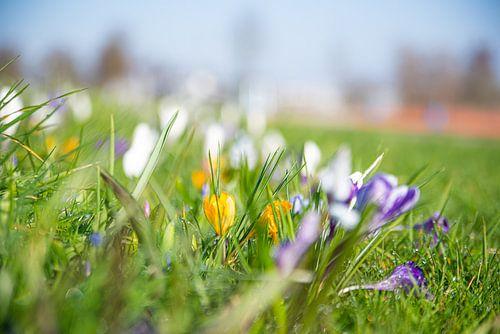 bloemen in grasveld voorjaar