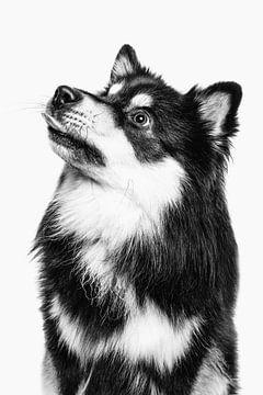 Porträt eines Finnischer Lapphund mit hellem Hintergrund von Lotte van Alderen