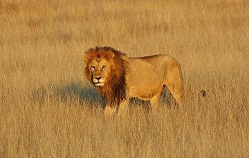 Lion van Manuel Schulz