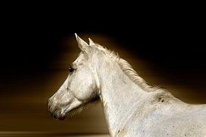 Das weiße Pferd von Ruxandra Proksch
