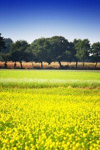 Mosterdzaad veld veld met een rij bomen en maïs
