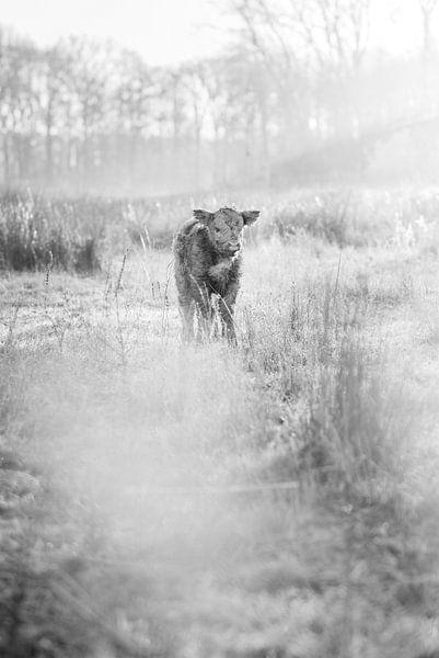 Schottisches Highlander-Kalb in Schwarz-Weiß von Kevin IJpelaar