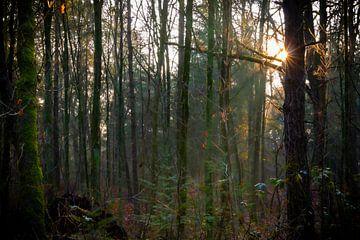 Étoile solaire dans la forêt sur Johan Mooibroek