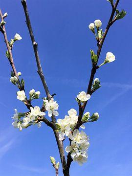 Witte bloesem aan fruitboom van Sandra van der Burg
