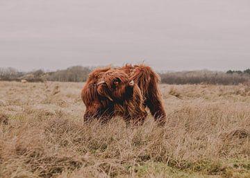 Junger Schottischer Highlander von Jessica Bakhuijs