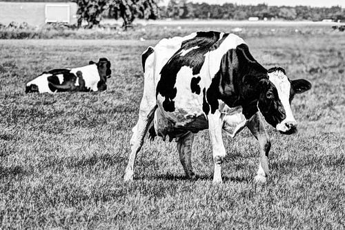 Zwartbont Koeien in de Weiland Zwart-Wit