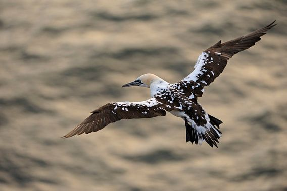Northern Gannet *Morus bassanus*