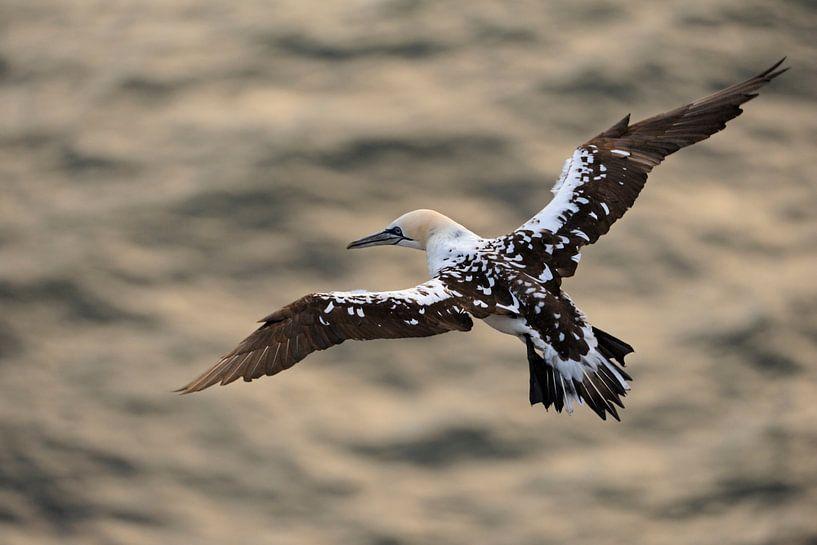 Northern Gannet *Morus bassanus* van wunderbare Erde