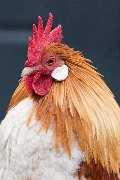 kip met de gouden eieren van Dirkje Sol