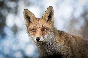 Le renard aux aguets sur