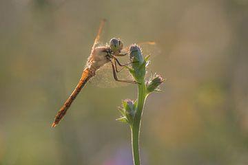 Libelle van Moetwil en van Dijk - Fotografie