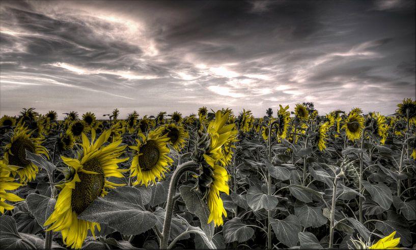 Zonnebloemen tegen grijze achtergrond van Atelier Liesjes