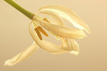 Weiße Tulpe in weiß von Wilma Overwijn