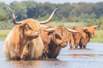 Rode Schotse Hooglanders in het water van Anne Zwagers