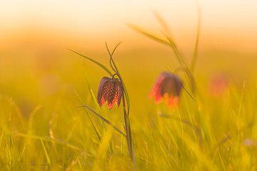 Wilde kievitsbloemen in een weiland tijdens een prachtige voorjaarszonsopgang van Sjoerd van der Wal