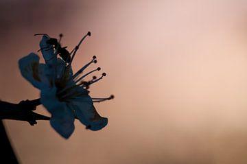 Ameise auf Blüte von Anita van Hengel