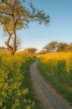 Kronkelig pad met bloeiende koolzaad - raapzaad van Moetwil en van Dijk - Fotografie