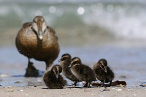 Common Eider ( Somateria mollissima ) together with its chicks