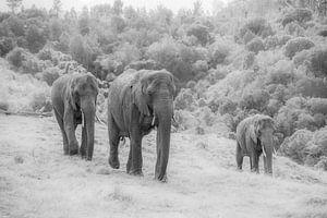 Trio van olifanten z/w van Roelinda Tip