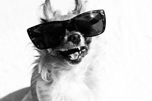 lachende hond met zonnebril