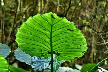 Reuzeblad in het bos van het Atlantische Bos in Paraná (Brazilië). van