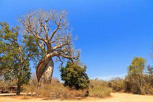 Baobab Amoureux Madagaskar van
