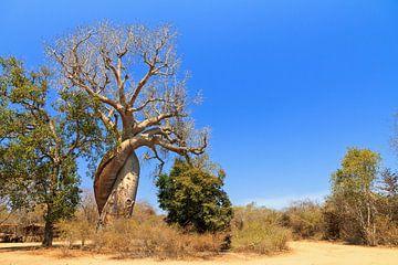 Baobab Amoureux Madagaskar von Dennis van de Water
