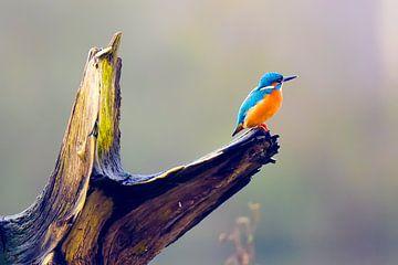 Ijsvogeltje op dode tak van een boom van Bert de Boer
