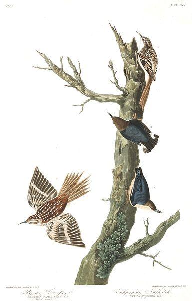 Amerikaanse Boomkruiper van Birds of America
