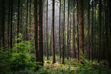 Het licht door de bomen van Petra Brouwer