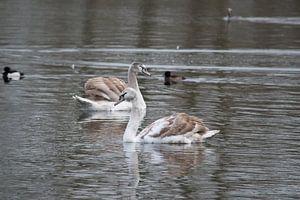 Jonge zwanen op het water in de Delftse  Hout in Delft