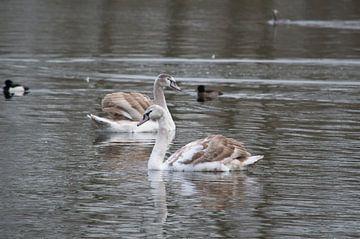 Jonge zwanen op het water in de Delftse  Hout in Delft van Ronald H