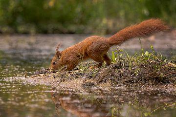 Rode eekhoorn onderzoekend sur Carla Odink